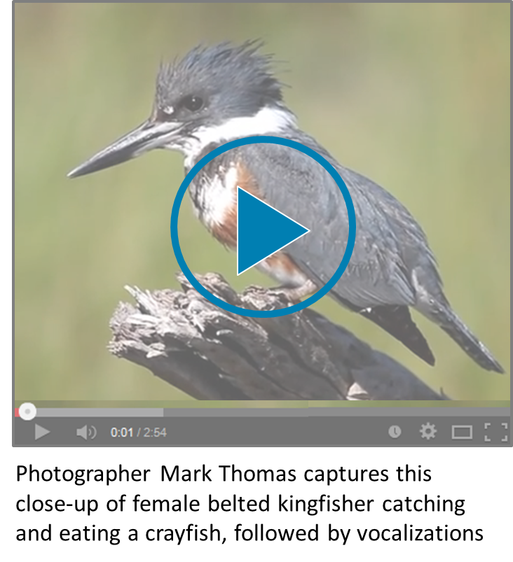 Belted Kingfisher video icon