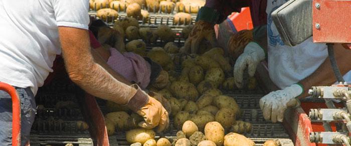 Potato Sorting on farm equipment