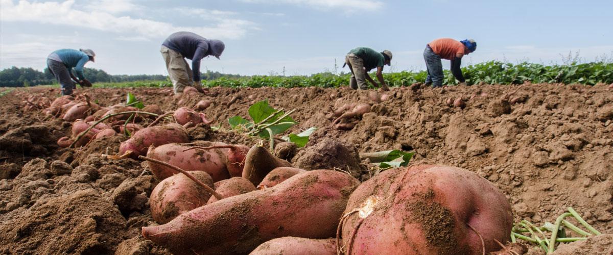 Sweet Potato Harvest at Kirby Farms