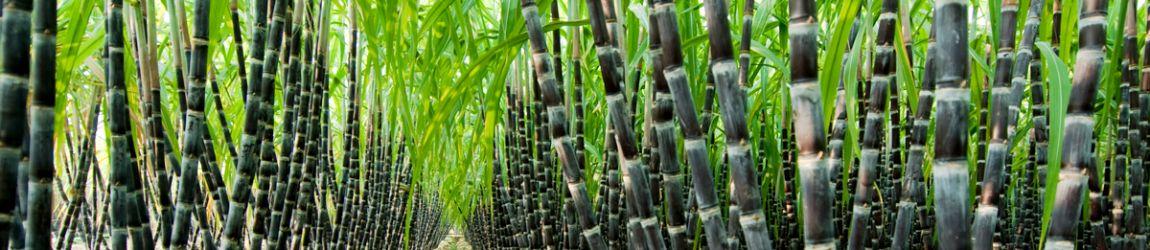 biofuel sugarcane