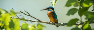 Kingfisher image
